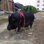 Pig !!